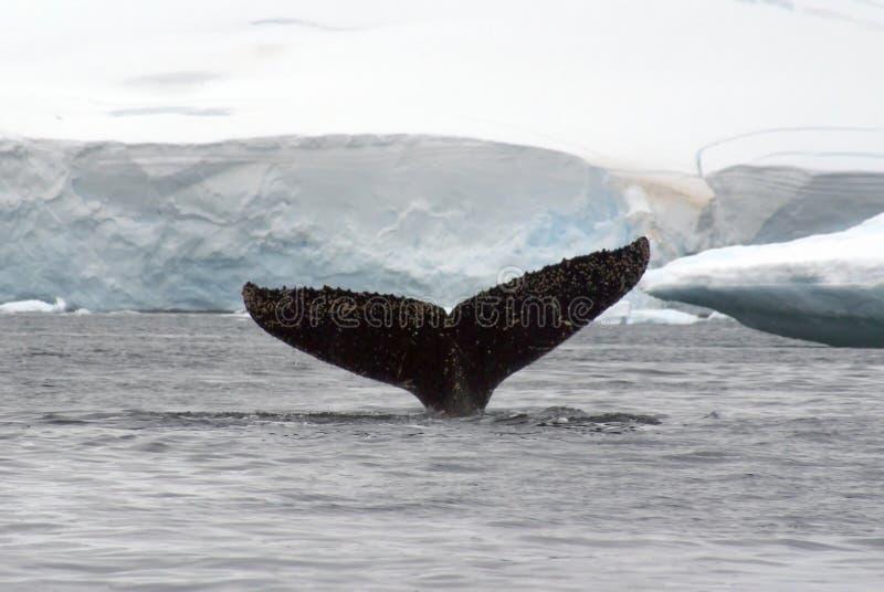 Humpback wieloryba ogonu fuks w Antarctica zdjęcia stock