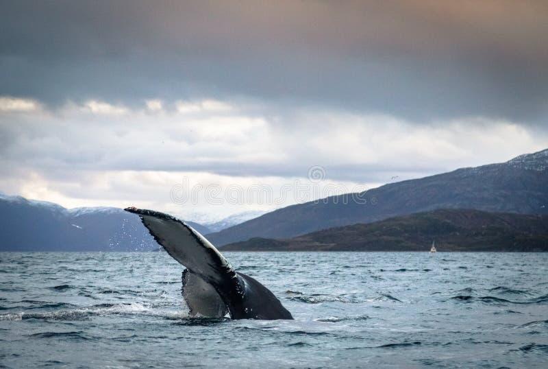 Humpback wieloryba ogonu fuks w oceanie w Tromso Norwegia fotografia stock