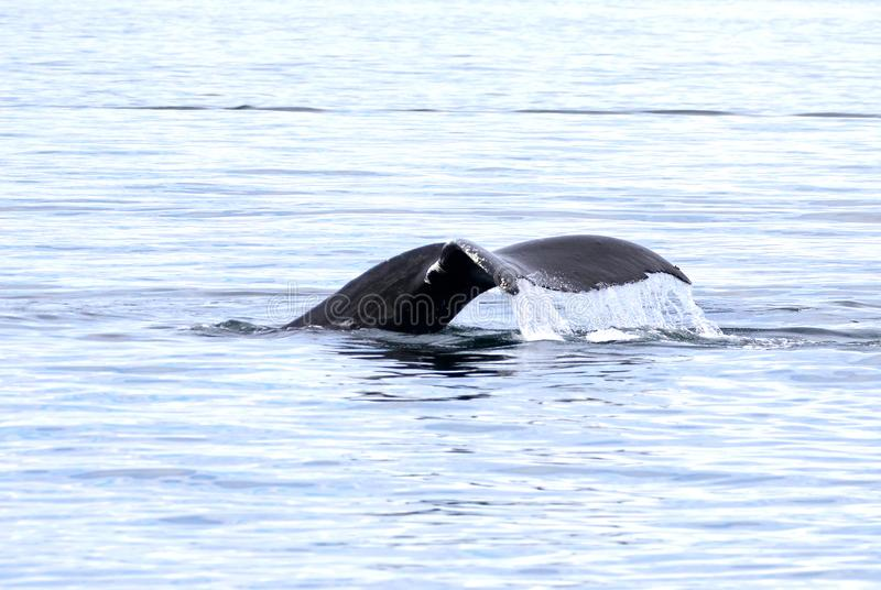 Humpback wieloryba ogonu fuks, Wiktoria, Kanada fotografia stock
