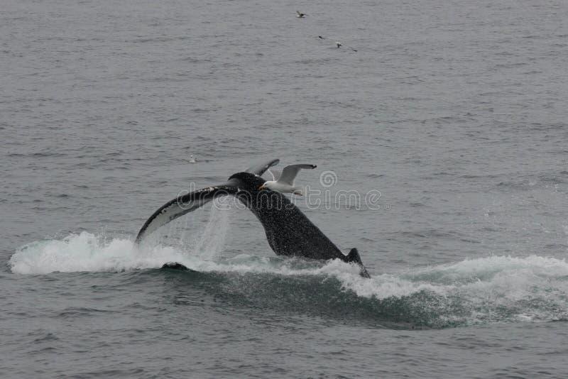 Humpback wieloryba ogonu fuksy Pokazywać Podczas gdy Nurkujący zdjęcie royalty free
