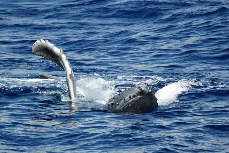 humpback wieloryba potomstwa obrazy stock