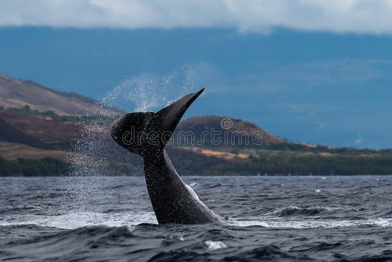Humpback wieloryba szypuły rzut fotografia stock