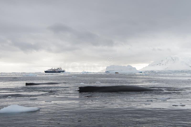 Humpback wieloryba wyróbka obrazy stock
