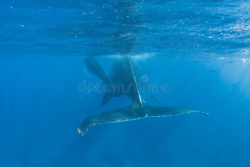 Humpback wieloryby 2 zdjęcie royalty free