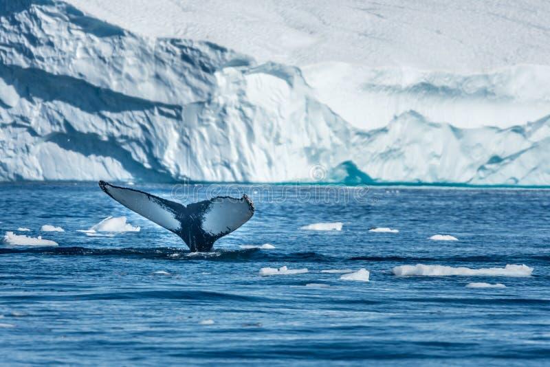 Humpback wieloryby karmi wśród gigantycznych gór lodowa, Ilulissat, Greenla obrazy royalty free