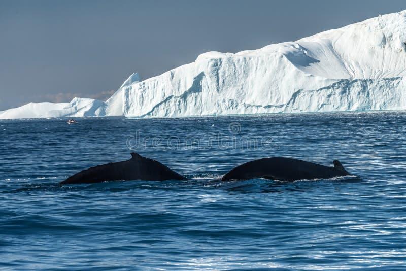 Humpback wieloryby karmi wśród gigantycznych gór lodowa, Ilulissat, Greenla fotografia royalty free