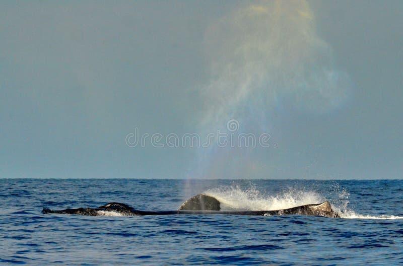 Humpback wieloryby pływa na powierzchni fotografia stock