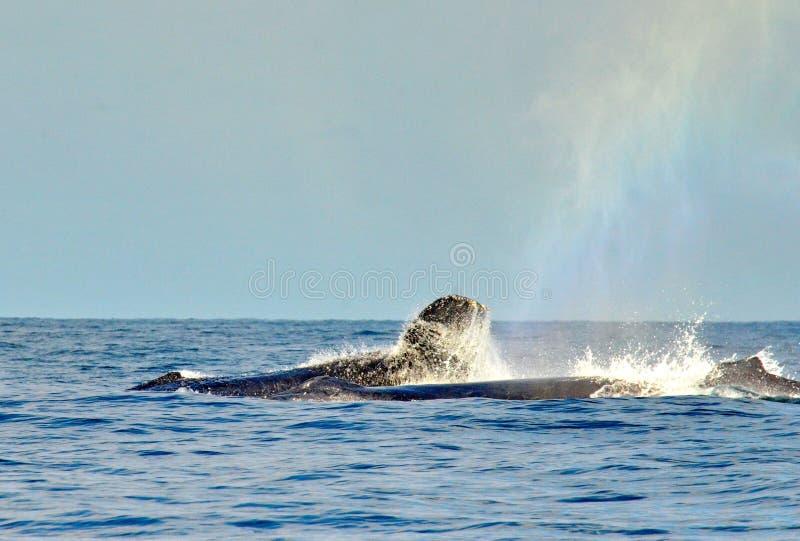 Humpback wieloryby pływa na powierzchni zdjęcia stock