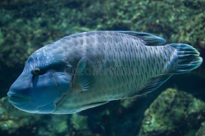Humphead wrasse Cheilinus undulatus. Humphead wrasse Cheilinus undulatus, also known as the Napoleon fish royalty free stock photography