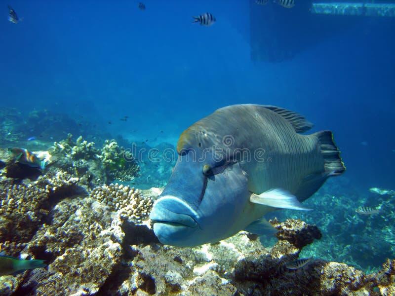 Humphead Wrasse am großen Barier Riff Australien stockfotos