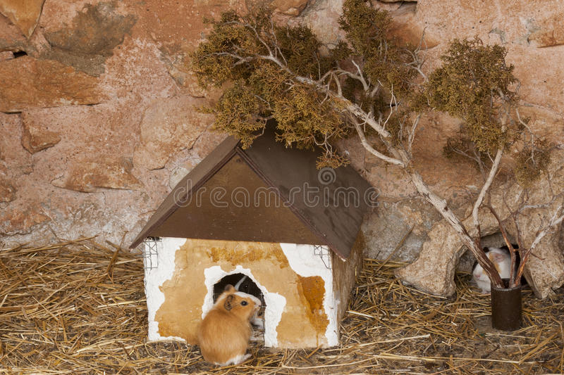 Humster multicolore dans une maison photos stock