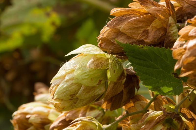 Humulus lupulus, or climbing is found in the wild in the temperate zone of both hemispheres in damp thickets. royalty free stock photography