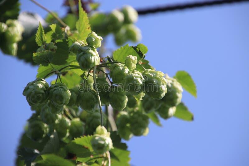 Humulus lupulus dans un potager vert à la lumière du soleil aux Pays-Bas photographie stock