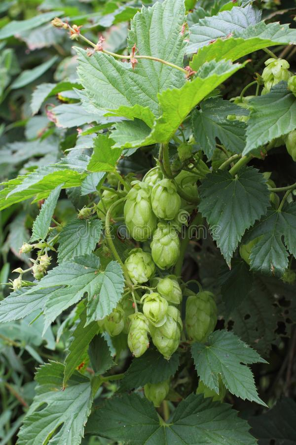 Humulus lupulus. Growing hops on a summer day royalty free stock image
