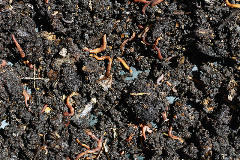 Humus with earthworms. Humus compost with large amount of earthworms stock photo