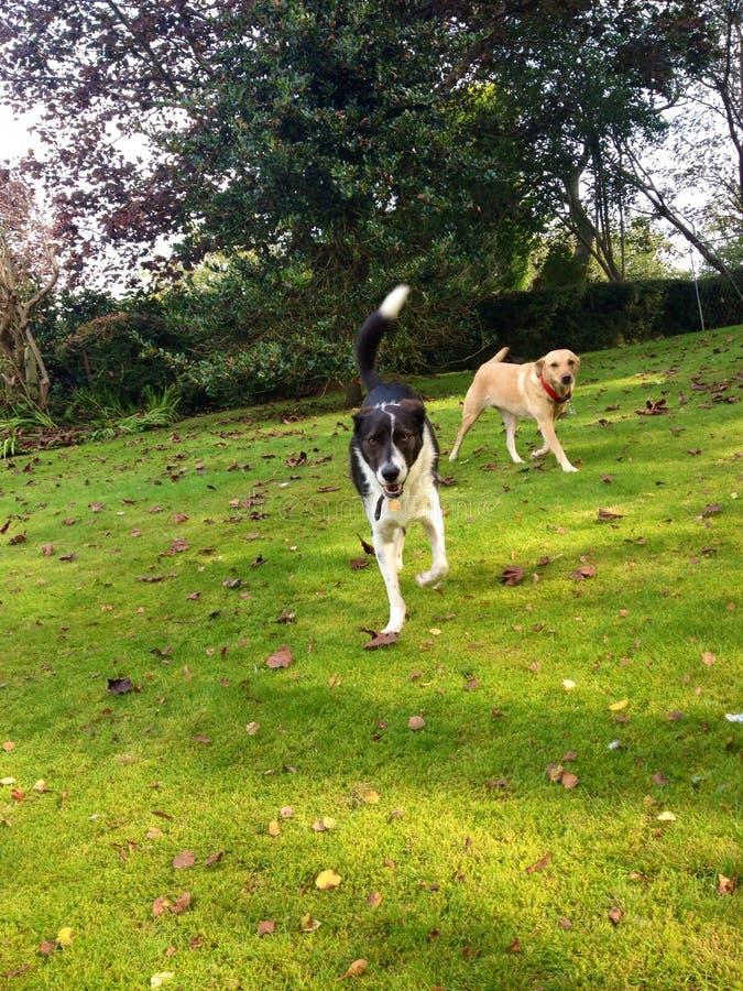 Hundåterkallelse royaltyfria bilder