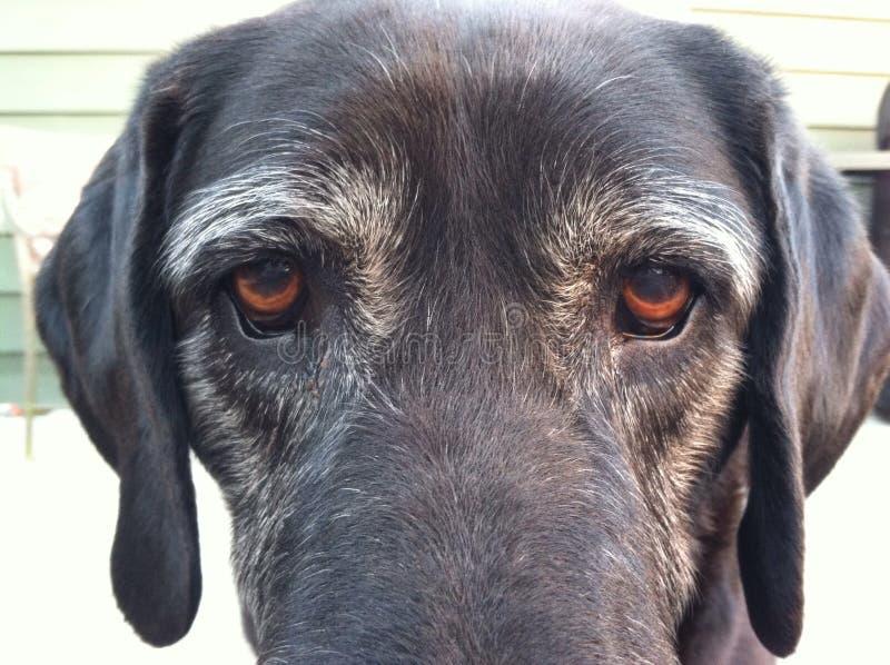 Hundögon arkivfoton