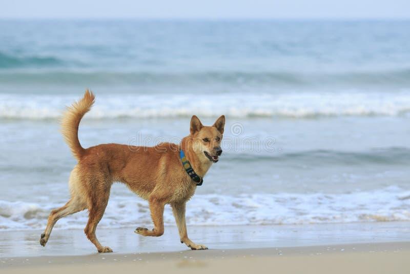 Hund älsklings- spring på havsstranden royaltyfria bilder