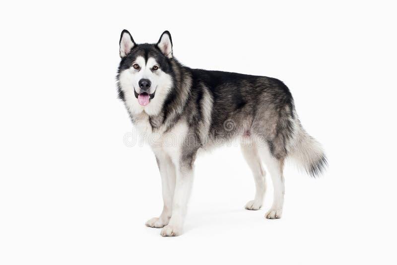 Hund Alaskischer Malamute auf weißem Hintergrund stockfotografie