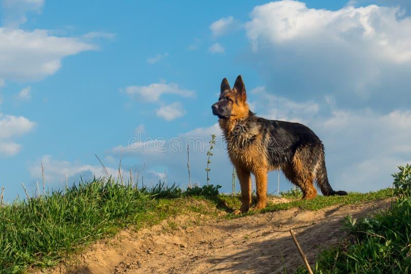 Hund, anseende för tysk herde på en landsväg och se in i avståndet royaltyfri fotografi