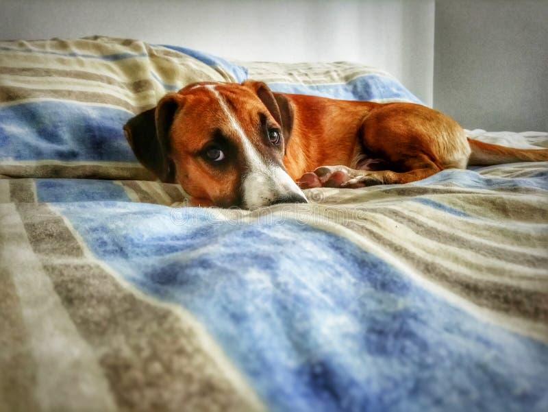 Hund auf Bett lizenzfreie stockbilder