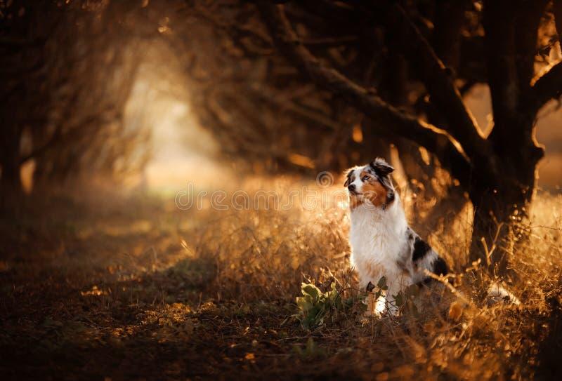 Hund auf dem Fußweg Mystischer Platz, Bäume Australischer Schäfer in der Natur lizenzfreies stockfoto