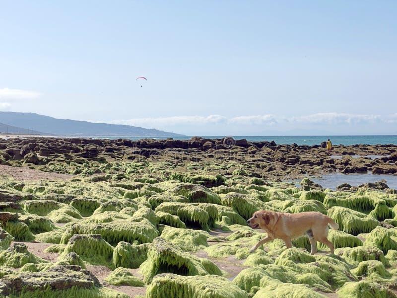 Hund auf dem Strand mit Felsen und grüner Meerespflanze stockfoto