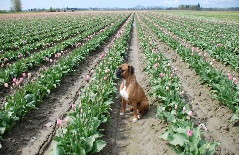 Hund auf dem Tulpe-Gebiet - horizontal stockfotografie