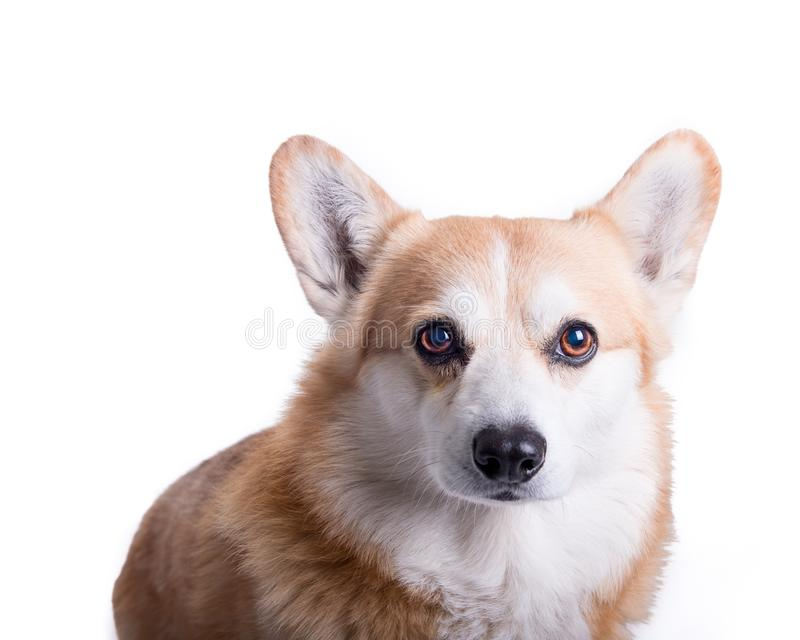 Hund auf dem weißen Hintergrund, eingelassen einem Studio lizenzfreie stockfotos