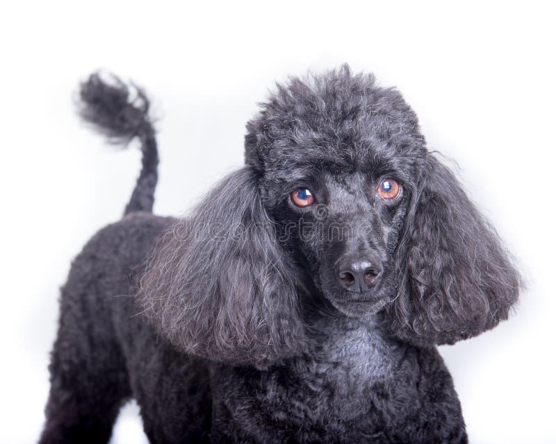 Hund auf dem weißen Hintergrund, eingelassen einem Studio stockfoto