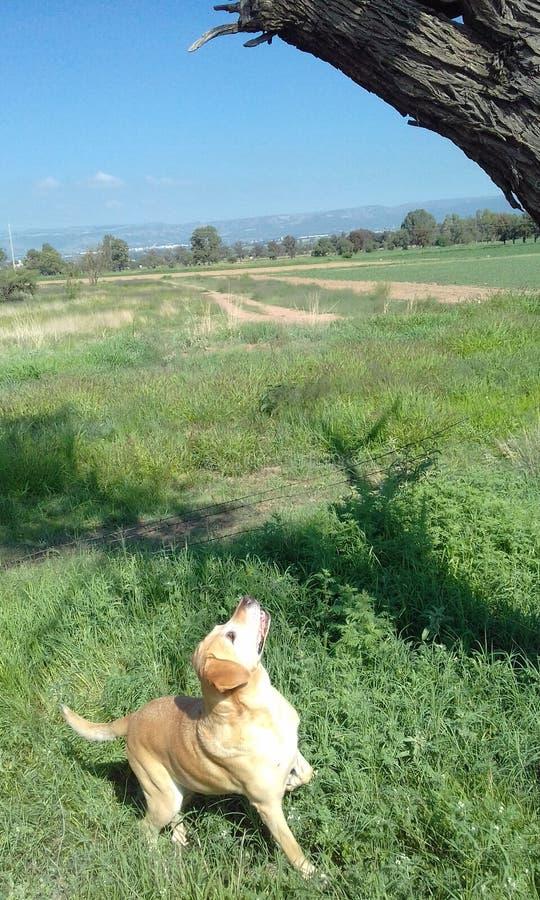 Hund auf einem Gebiet lizenzfreie stockfotografie