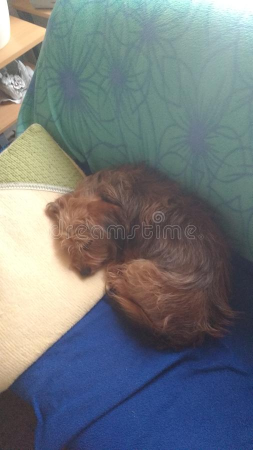 Hund auf einem Sofa stockbilder