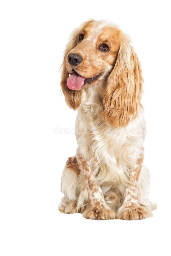 Hund auf einem weißen Hintergrund stockbild