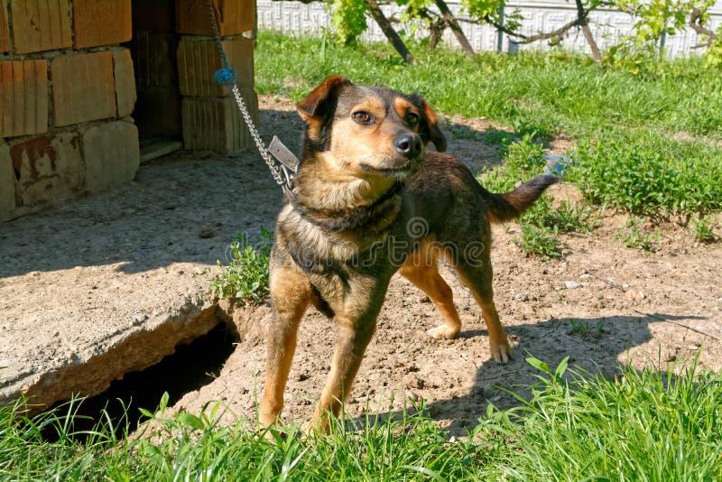 Hund auf einer Kette lizenzfreies stockfoto