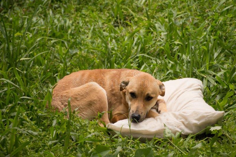 Hund auf Kissen stockfoto