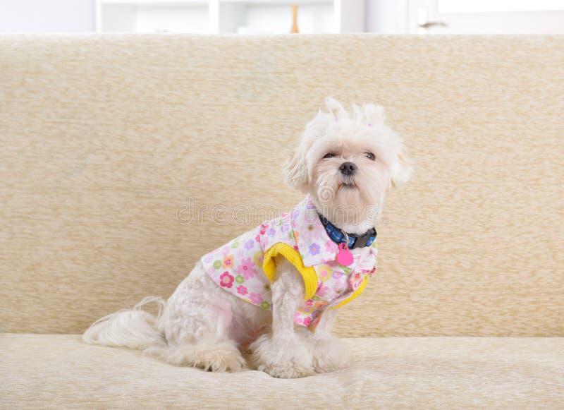 Hund auf Sofa lizenzfreies stockfoto