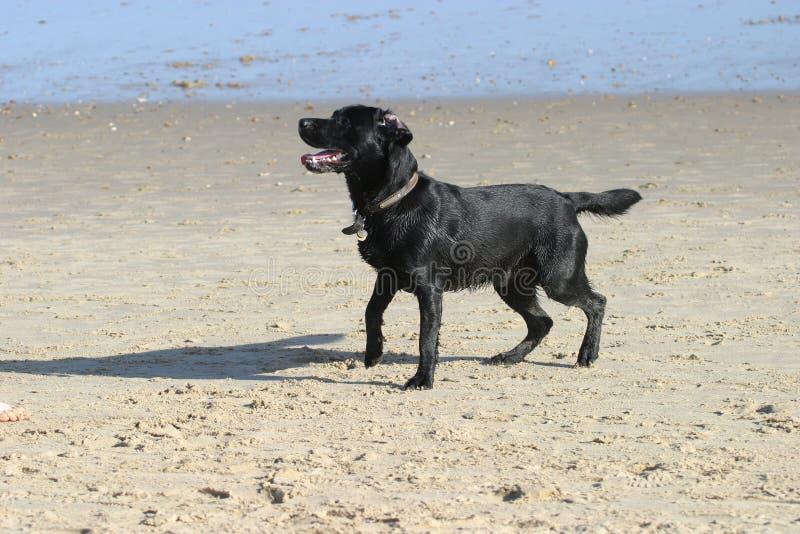 Hund auf Strand stockfotografie