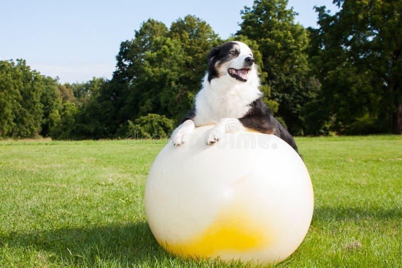 Hund auf Yoga-Ball lizenzfreies stockfoto