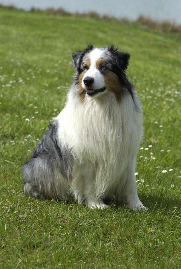 Hund, australischer Schäferhund lizenzfreies stockfoto