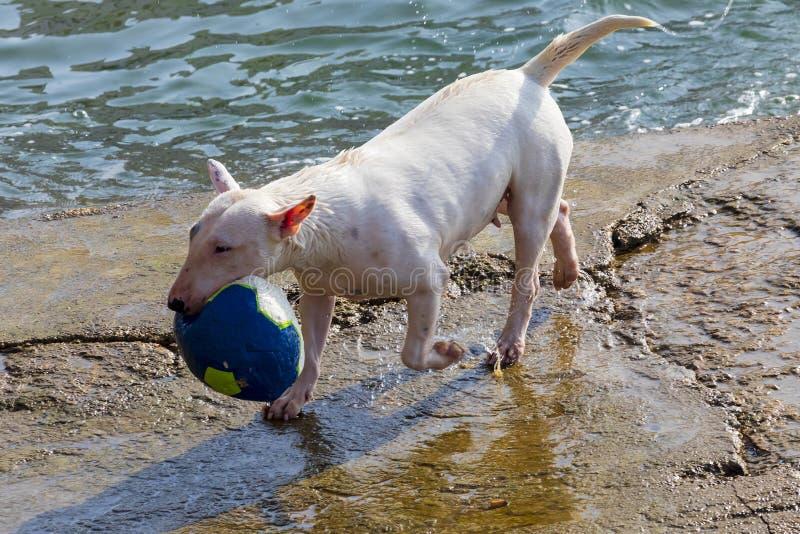 Hund av avelden miniatyrBull terrier följden flera foto arkivbild