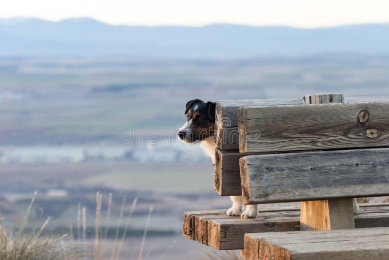Hund av den Jack Russell aveln, upp på en bänk fotografering för bildbyråer