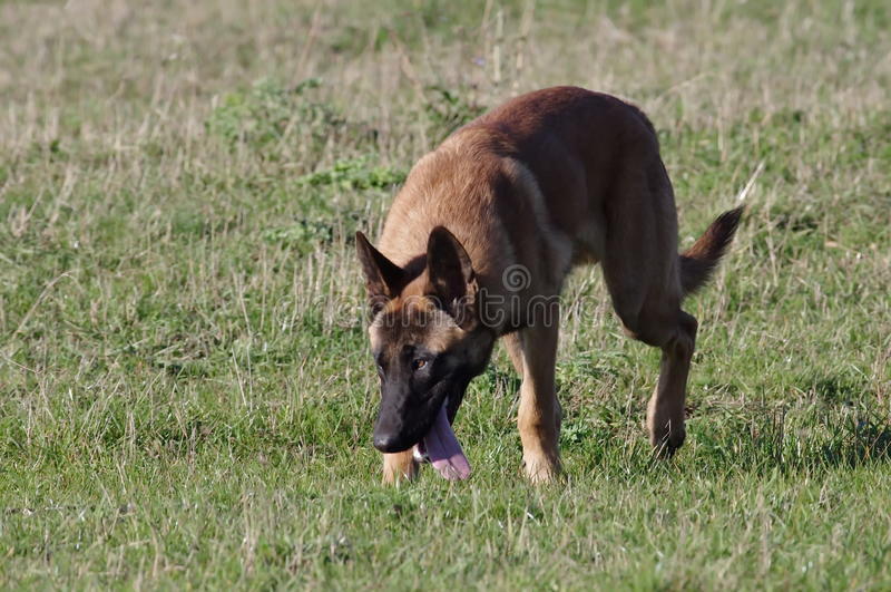 Hund - belgare Malinois royaltyfri fotografi