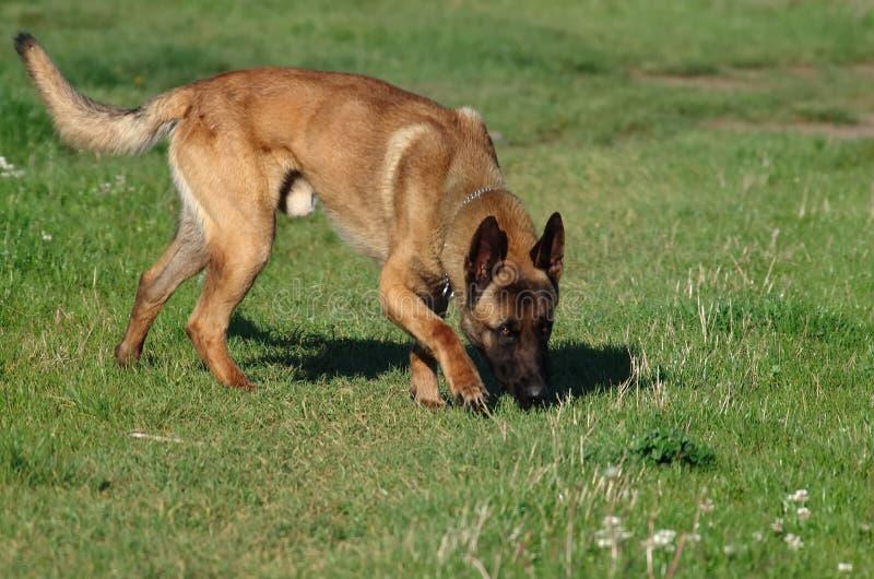 Hund - belgare Malinois royaltyfria foton