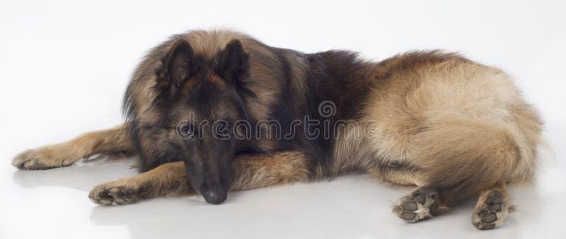 Hund belgisk herde Tervuren, ligga som isoleras royaltyfria bilder