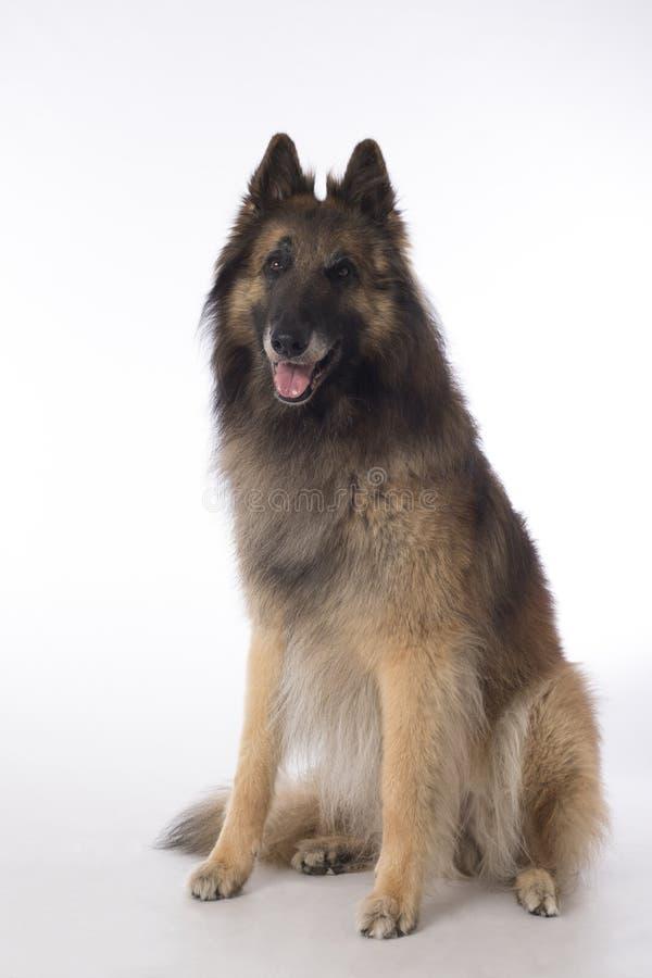Hund belgisk herde Tervuren som sitter på den vita studiobackgrouen arkivfoton