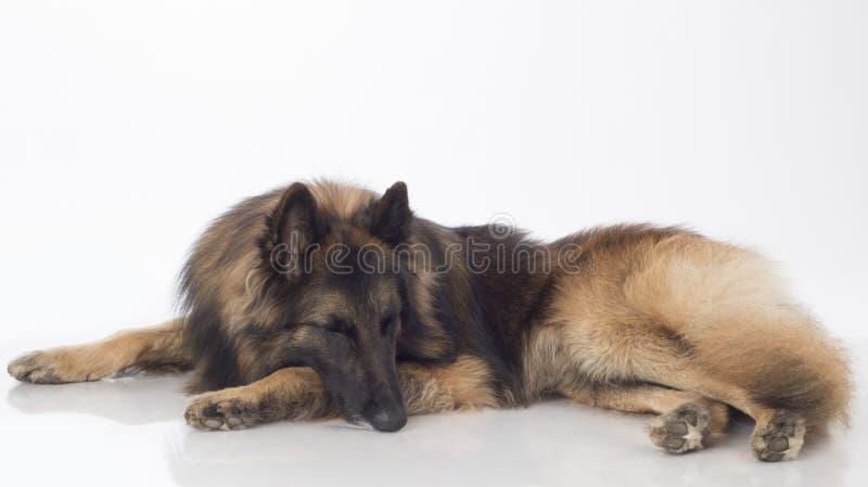 Hund belgisk herde Tervuren som sover, royaltyfri foto