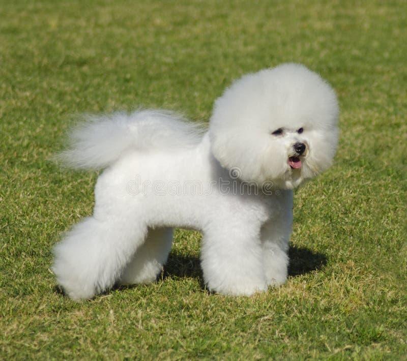 Hund Bichon Frise stockfotografie