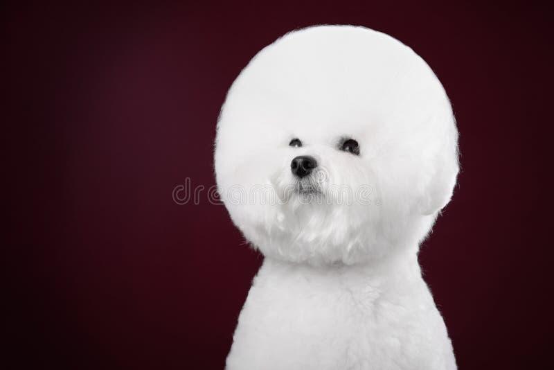 Hund Bichon Frise in einem dunklen Studio lizenzfreie stockbilder