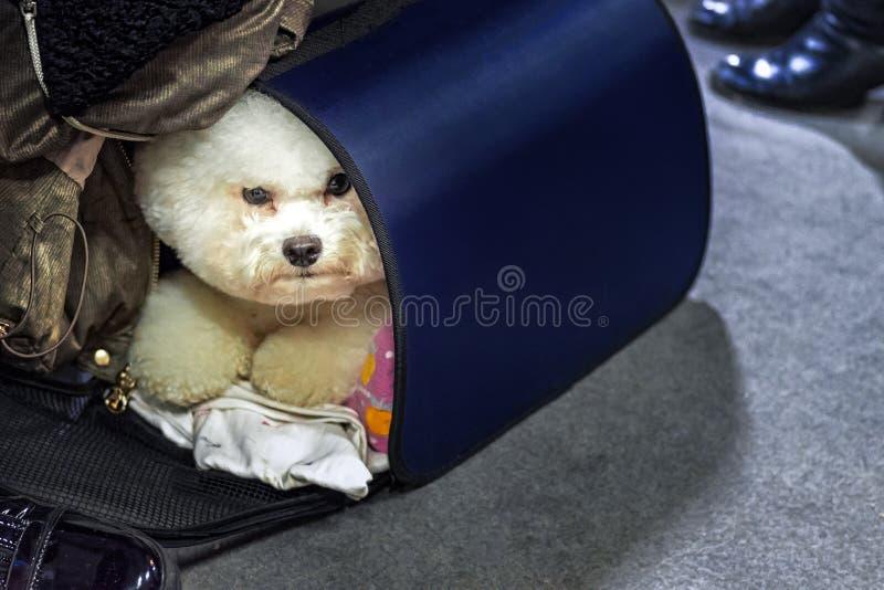 Hund Bichon Frise schaut aus der Tragetasche heraus Hündchen, das Kamera betrachtet lizenzfreie stockbilder