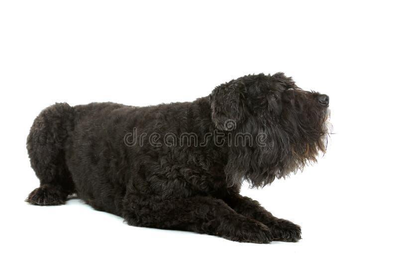 Hund Bouvier DES-Flandres stockbild